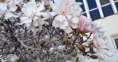 Tree in Bloom at UNR by Ashley Nickole Andrews